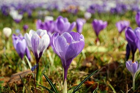 purple crocus flowers in bloom at daytime