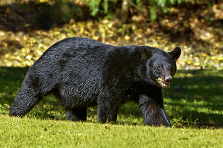black bear at the field during day
