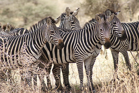 zebras standing on brown grass field