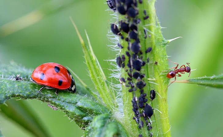 ladybug and brown ant