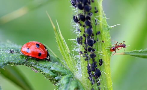ladybug and brown ant