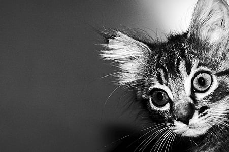 grayscale photo of tabby kitten