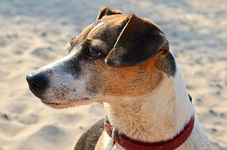 adult white, black, and tan Jack Russell terrier