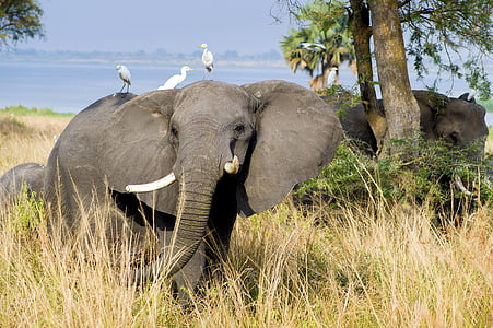 three white egrets perched on elephant back during daytime