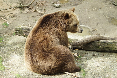grizzly bear near wood log