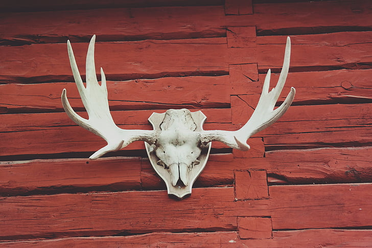 Royalty Free Photo: White Deer Skull With Black Antler Wall Decor Mounted  On Brown Woodeen Wall | PickPik