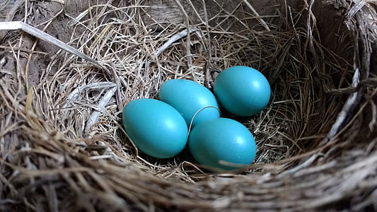 photo of four blue eggs on top of brown nest