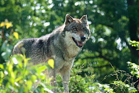 gray wolf on green grass