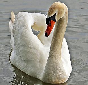 closeup photo of white swan