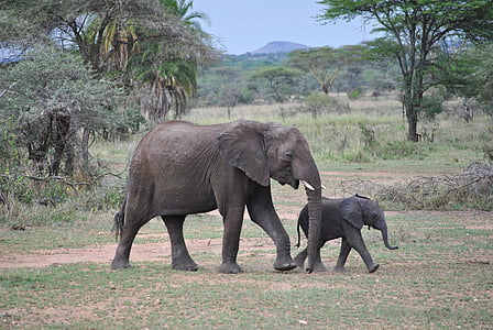 two elephants walking in a safari during daytime