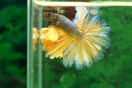 selective focus photography of gold and silver betta fish