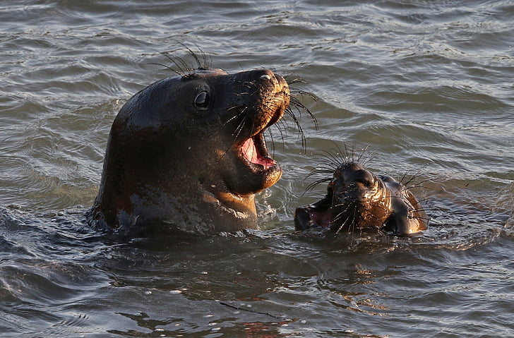 seals, swimming, water, ocean, sea, playing