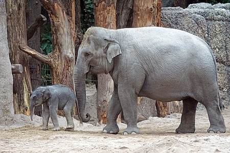 two gray elephants in zoo during daytime