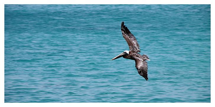 brown Pelican on flight