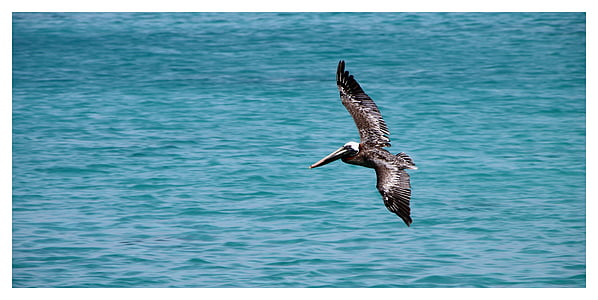 brown Pelican on flight