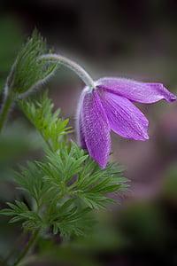 closeup photography of purple pasque flower