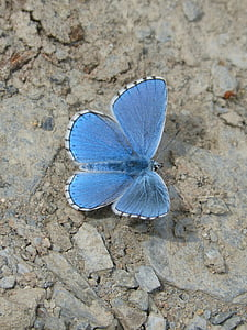 close up photo of common blue butterfly on brown soil