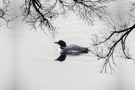 grayscale photography of duck on body of water