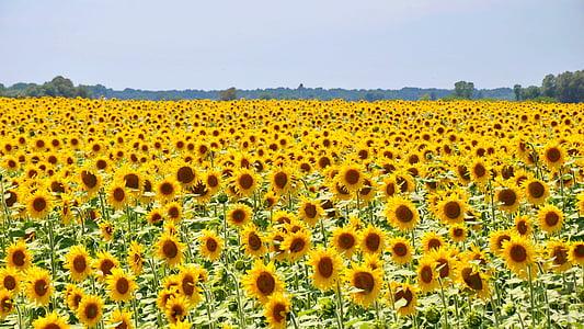 sunflowers photo during daytime