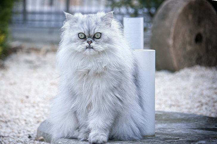 photo of white Persian cat