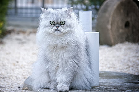 photo of white Persian cat