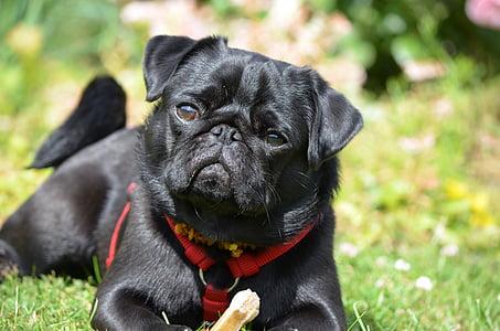 black pug lying on green grass
