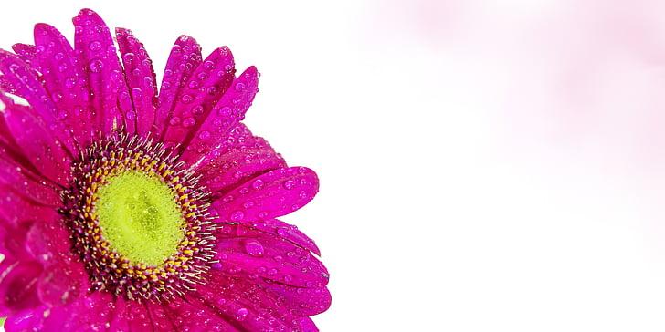 pink Gerbera daisy in bloom