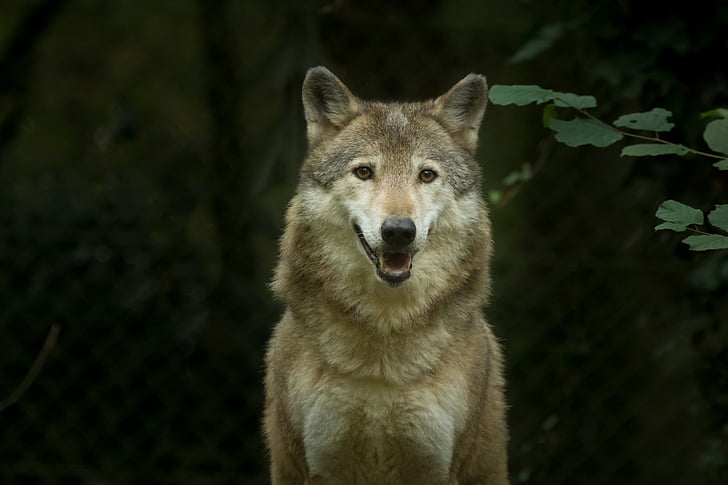 white and gray wolf during daytime