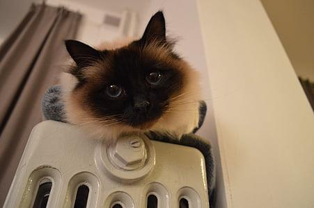 siamese kitten on home appliance