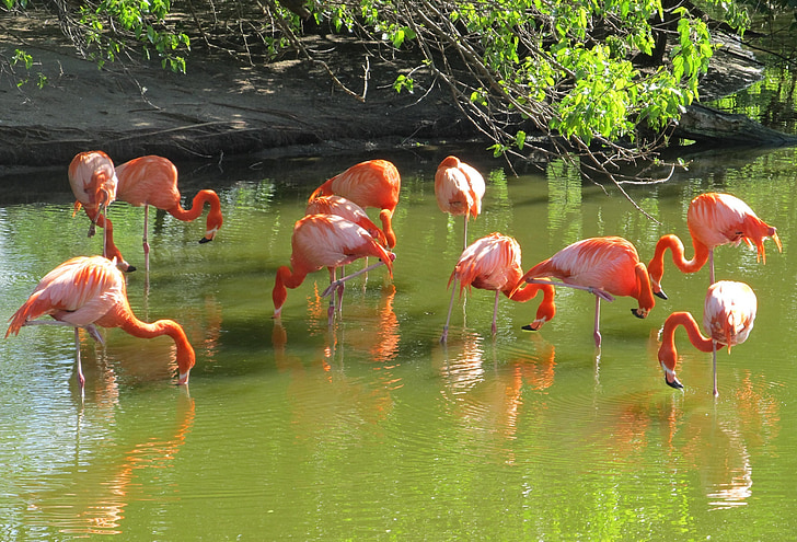 group of flamingos on river