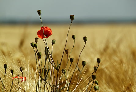 red poppy flower in closeup photo