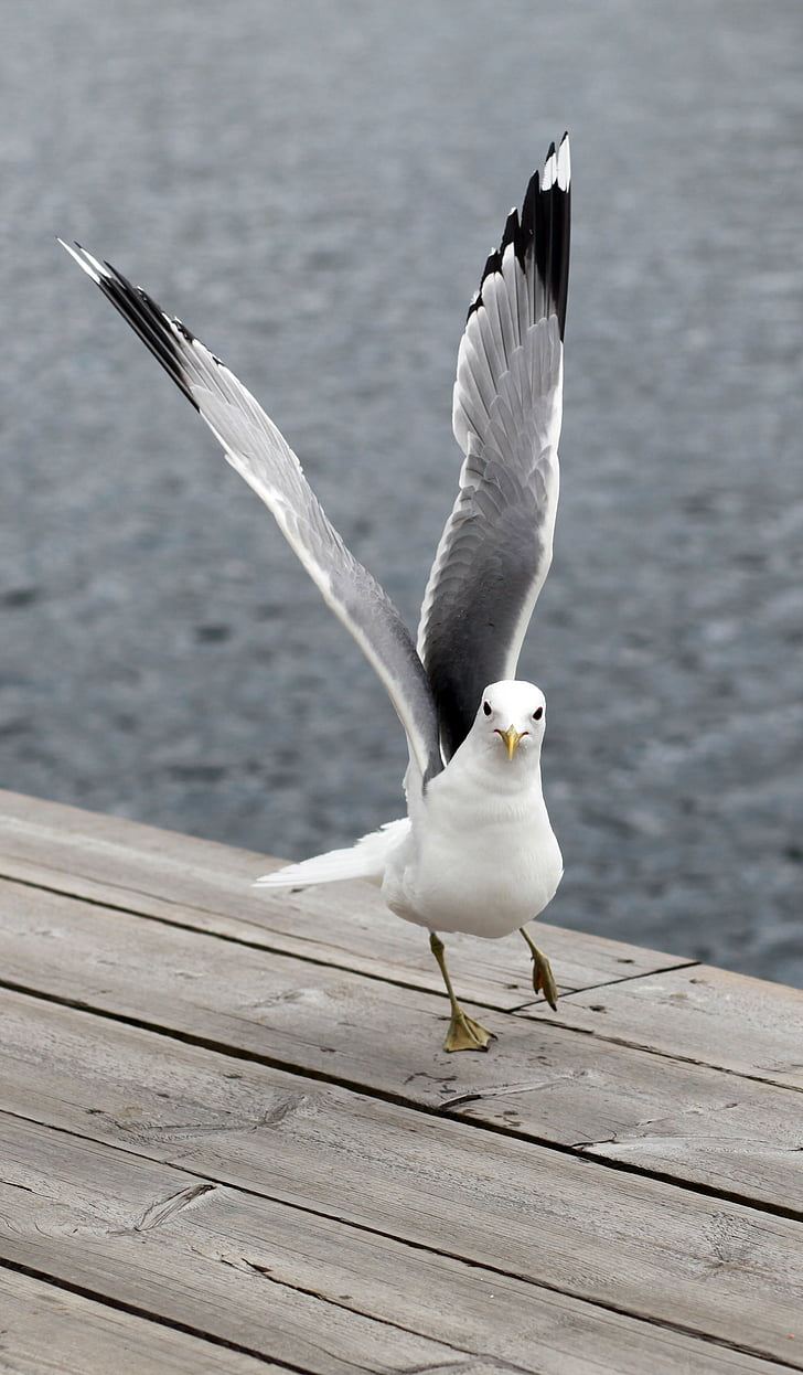 close-up photography of California gull