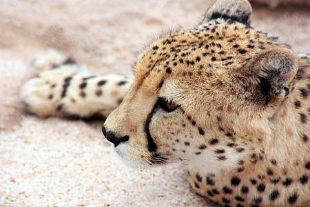 cheetah lying on sand