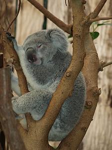 gray koala on tree sleeping