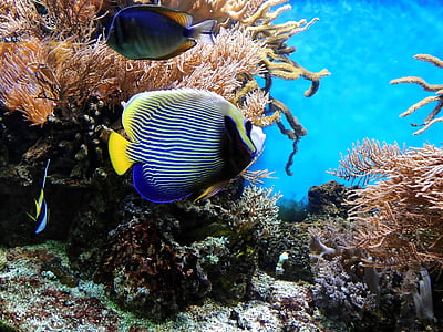 blue tang beside corals