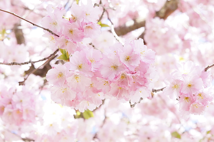 selective focus of pink cherry blossom flowers