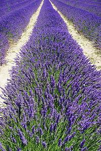 purple lavander flower field
