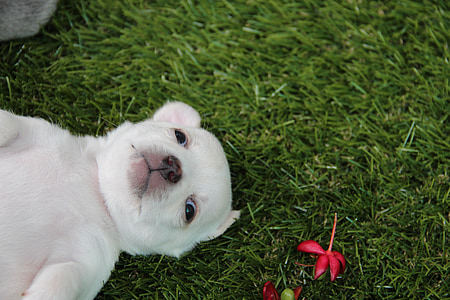 white puppy lying on grass beside a red petaled flower
