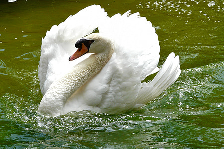 swan on body of water