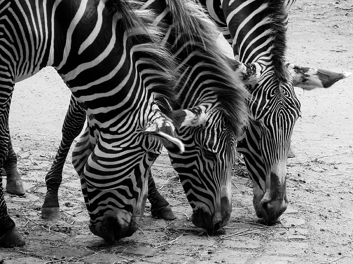 three black-and-white zebras photography