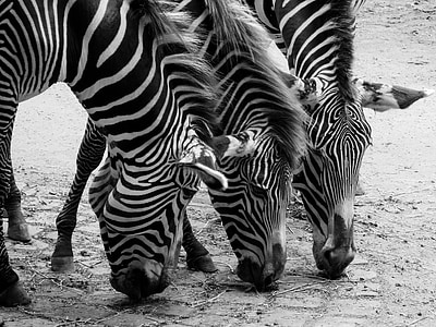 three black-and-white zebras photography