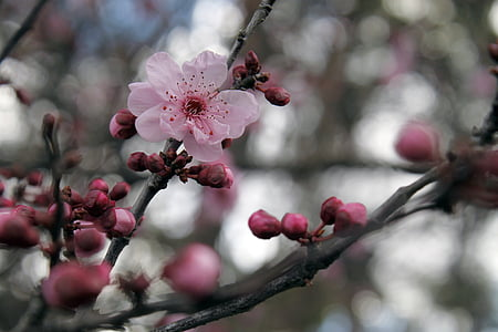selective photo of pink cherry blossom