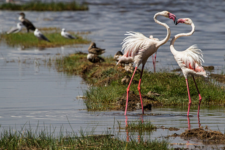 two white-and-pink flamingoes
