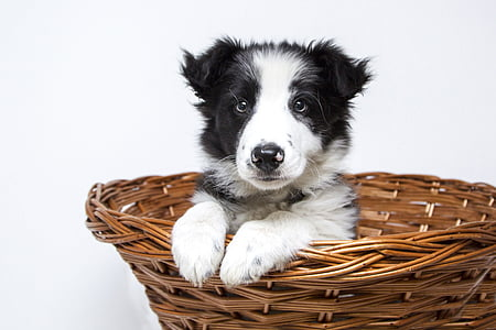 short-coated white and black puppy inside brown wicker basket