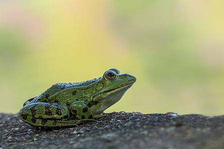 green and black frog closeup photography