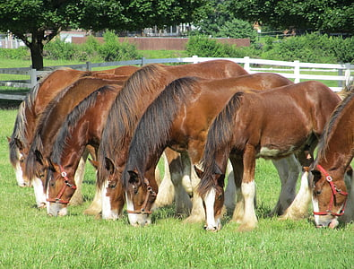seven brown horses eating grass