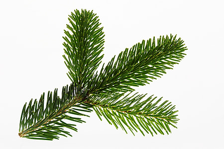 green pine tree leaves