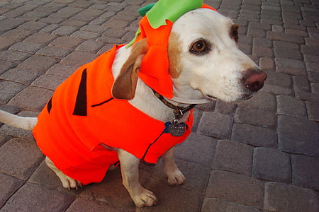 yellow Labrador retriever wearing peterpan costume