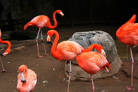 flock of pink flamingo birds standing near rock