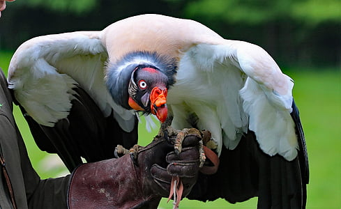 white and black vulture perch on human hand